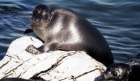 Baikal Seal - Nerpa